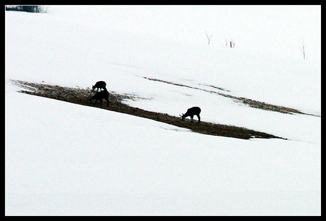 Le matin, avant de partir, on aperçois au loin les chamois qui viennent descendent près du chalet